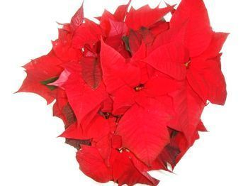 Coupe de poinsettias