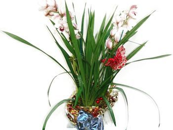 Orchidées cymbidium en pot